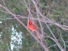 cardinal1_11_001