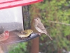 finches1_11