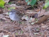 whitethroatsparrow