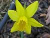 daffodil0109