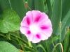 pink_wh_mglory