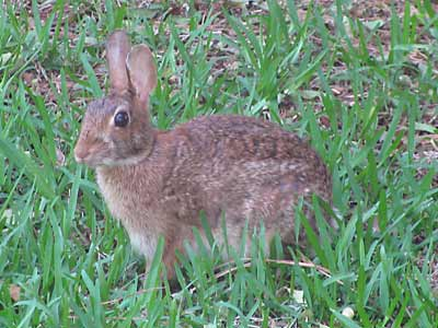 Our Yard Bunny Nibbler