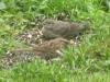 sparrow_cowbird