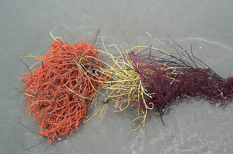 tricolor_seaweed