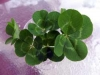 fourleafclovers